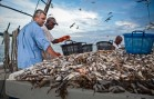 CHEAP IMPORTS KILLING USA SHRIMP INDUSTRY